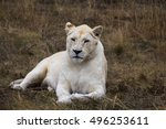 White Lioness Is Resting After...