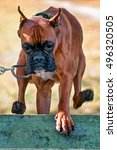 Small photo of jumping boxer dog on agility course