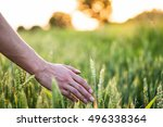 Wheat On Hand. Plant  Nature ...