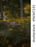 Small photo of Florida alligators in Everglades National Park. Big Cypress.