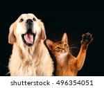 Stock photo cat and dog together abyssinian kitten golden retriever looks at right 496354051