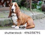 Basset Hound Dog Portrait...