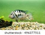 Fish Convict Cichlid Zebra In...