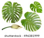 Monstera Big Green Jungle Leaf...