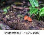 champagne mushroom on a dead...   Shutterstock . vector #496471081