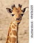 Young Giraffe Looking At You