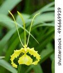 Oncidium Papilo   Yellow ...
