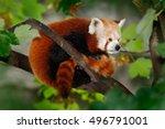 Beautiful Red Panda Lying On...