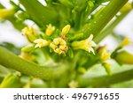 Flowers  Papaya  Papaya Is A...