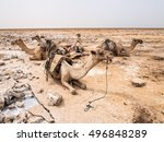 Small photo of Dromedary camels used to transport amole salt slabs across the desert in the Danakil Depression in Afar region, Ethiopia.