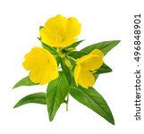 common evening primrose flowers ... | Shutterstock . vector #496848901