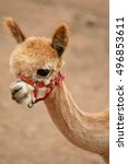 Small photo of Portrait of young Alpaca (Vicugna pacos) with red headstall