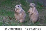 Small photo of WASHINGTON, DC - SEPT, 2014: Two cute prairie dogs stand, one eats, at Washington National Zoo where open prairie dog exhibit always is always good for a dose of cuteness.