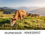 Cows On Mountain Pasture In Th...