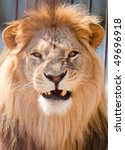 Picture Of Lion Of High Res...