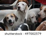 pack of fox hounds waiting for