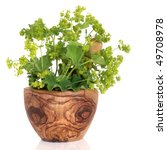 Small photo of Ladys mantle herb with flowers in an olive wood mortar with pestle, over white background. Alchemilla vulgaris.