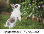 curious rabbit sitting in the...   Shutterstock . vector #497238265