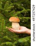 Small photo of Harvesting Mushrooms. Fresh Edible Mushroom Porcini (Boletus edulis) In Female Hand On Background of firr branches.