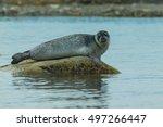 Leopard Seal Resting On Blue...