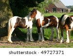 two young irish cob filly make...   Shutterstock . vector #49727371