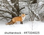 red fox  vulpes vulpes  with a... | Shutterstock . vector #497334025