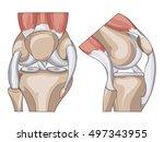 anatomy. knee joint cross... | Shutterstock . vector #497343955