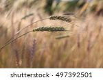 Wheat Grass And Wheat Stalk