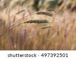 Wheat Grass And Wheat Stalk