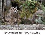 wild deer in mont tremblant ... | Shutterstock . vector #497486251