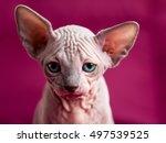 sphinx hairless cat. egypt cat... | Shutterstock . vector #497539525