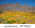 Mexican Gold Poppies At The...
