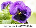 Violet Pansies   Flowers  Vase  ...