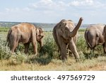 A Small Herd Of Adult Elephant...
