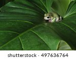 Green Tree Frog Crawling...