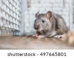 Closely Rat Cage Traps Close U...