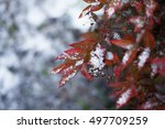 Snow Lies On Autumn Leaves. Re...