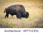 Wild Bison In Yellowstone...