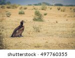 Big Black Vulture Resting On...