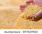 Ripe Soya Bean Seed In Hands O...