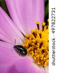 Small photo of a leaf beetle, Nonarthra cyanea, on a cosmos petal