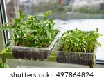 seedlings of peppers and... | Shutterstock . vector #497864824