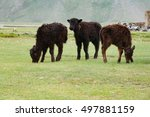 Small photo of Three young calves calf standing green meadow pasture grazing rainy day countryside