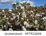 Cotton plant ready for harvest against blue sky and white clouds. Greece