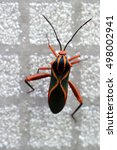 """Small photo of This black bug with orange X lines (""""Machtima crucigera"""") in a alien world, it is a common parasite of Barbados cherries (Malpighia emarginata) known as """"acerola"""" but here walks on a gray ceramic tile"""