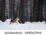 Dog Breed Siberian Husky...