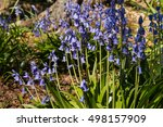 Closeup Of Common Bluebell...
