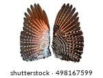 Northern Red Shafted Flicker...