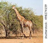 south africa   kruger  wildlife ...   Shutterstock . vector #498274159