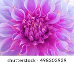 Bright Pink Dahlia  Flower. ...